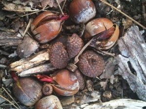sprouting acorns